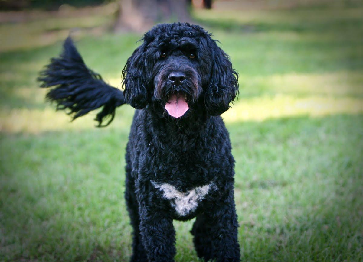 фото собаки породы португальская водяная собака