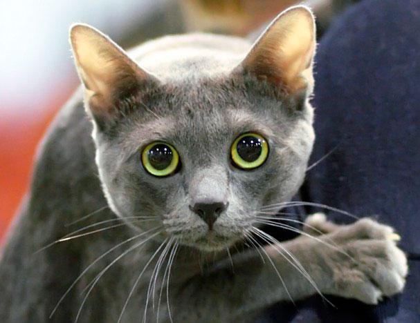 Кошки Корат