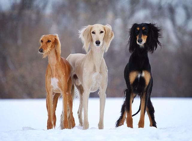 Собаки Салюки